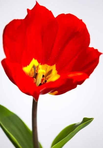 tulipe1200